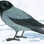 ворона картинка